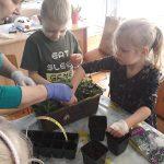 Dwoje dzieci wraz z Panią sadzący kwiatki do doniczki.