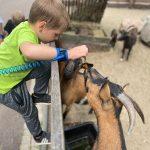Chłopiec wspiął się na płot i patrzy na kozy.