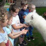 4 dzieci stoi i patrzy na alpakę. Jedna dziewczynka ma wyciągnięte ręce i ja karmi.
