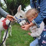 Pani trzyma dziewczynkę, która karmi alpakę.