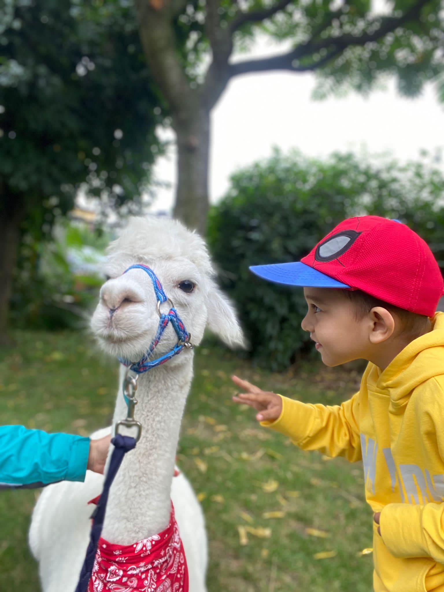 Chłopiec dotyka alpaki palcem.