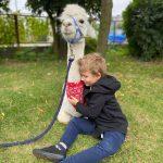 Chłopiec przytula się do alpaki.