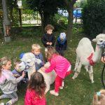 Siedmioro dzieci i dwie alpaki będący w ogrodzie przedszkolnym. Dwie dziewczynki głaszce leżącą alpakę.