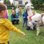 Grupa dzieci dwie alpaki i Pani trzymająca alpakę w ogrodzie przedszkolnym. Na pierwszym planie chłopiec wyciągający rękę do alpaki.