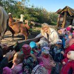 Dzieci z nauczycielkami oglądają lamy znajdując się w zagrodzie.
