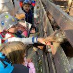 Chłopiec stoi przy drewnianej zagrodzie . Na wyciągniętej prawej dłoni ma kukurydzę, którą karmi kozę.